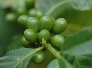 Green Coffee Bean Extract,coffee bean,green coffee for weight loss