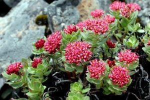 Rhodiola Rosea Extract rhodiola root extract rhodiola dosage siberian rhodiola rhodiola root powder
