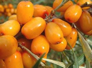 Seabuckthorn Extract sea buckthorn oil capsules sea buckthorn for rosacea sea buckthorn powder