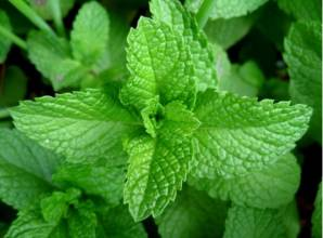 Peppermint Powder peppermint oil peppermint capsules peppermint extract mint powder