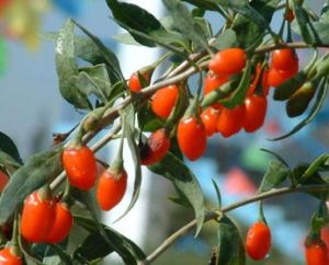 Organic Wolfberry Extract, wolfberry, lycium barbarum, goji berries benefits