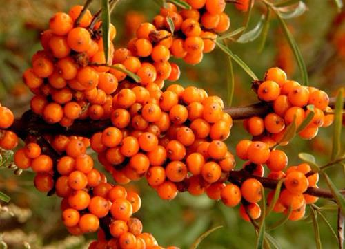 sea-buckthorn fruit.jpg