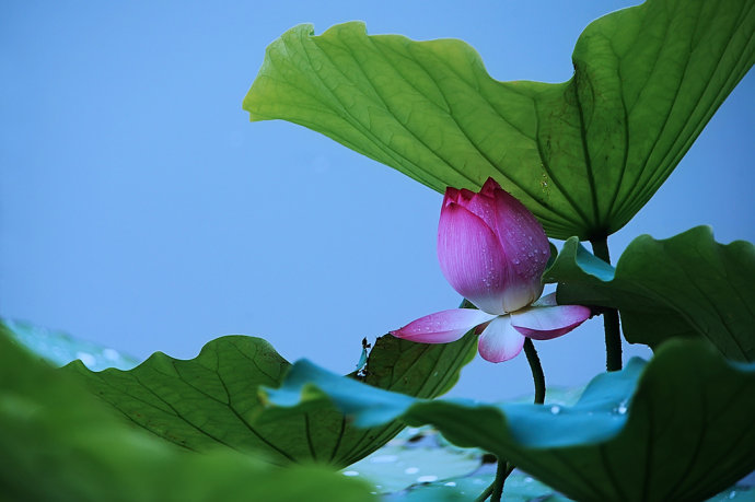 China Lotus Flower Extract Manufacturers Suppliers And Factory Victar