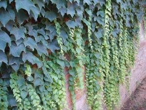 Ivy Leaf Extract Ivy Leaf Supplement Crawling Ivy Plants Ivy Oil Extract