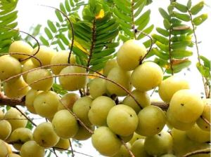 Phyllanthus Emblica Indian Gooseberry Plant Amla Fruit Emblica Extract Alma Indian Gooseberry Indian Gooseberry Extract