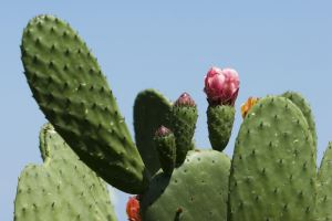 Prickly Pear Extract Paddle Cactus Prickly Pear Juice Nopal Cactus Prickly Pear Cactus Extract Cactus Powder
